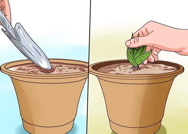как посадить алоэ