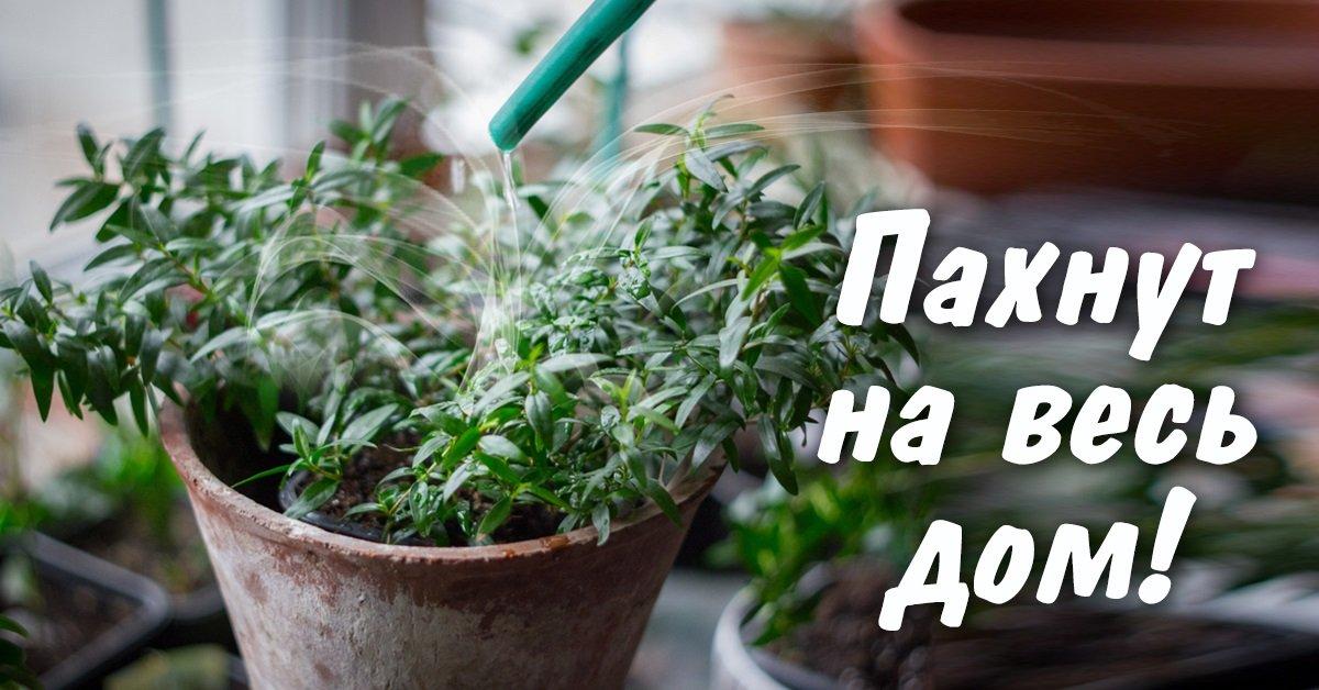 растения с приятным запахом