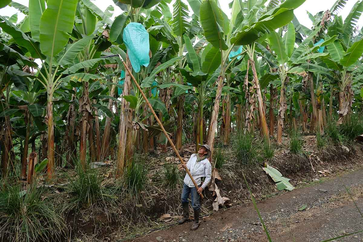 Почему бананы могут вскоре исчезнуть с лица земли Кулинария,Советы,Бананы,Болезни,Грибок,Еда,Питание,Проблемы,Продукты,Цены