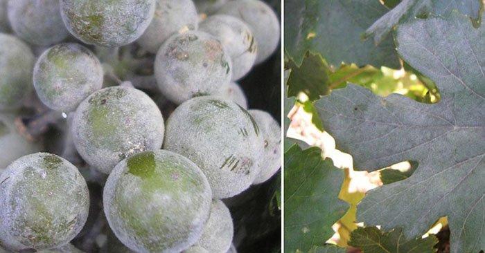 вкусный виноград