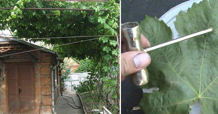 белый налет на винограде