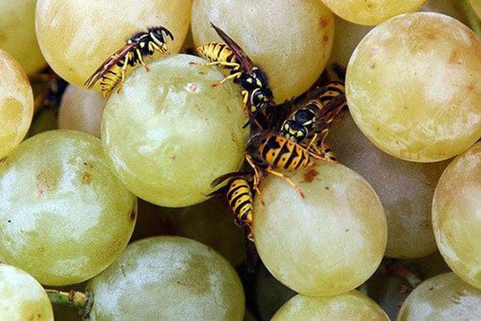 сорта синего винограда