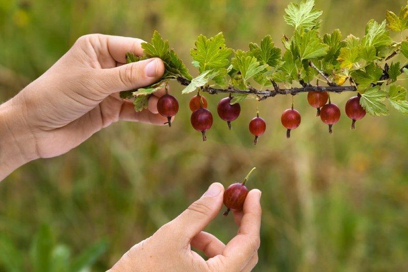 белый налет на ягодах крыжовника