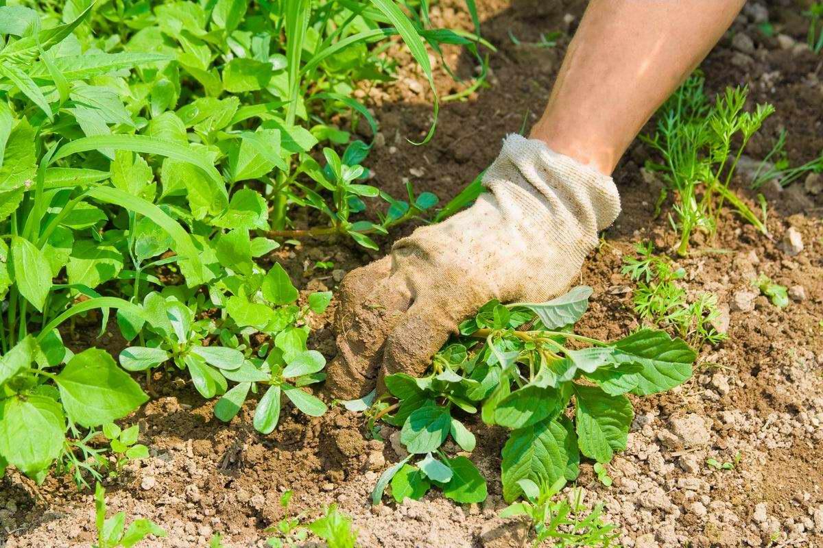 Вездесущие сорняки покинут дачу за двадцать четыре часа Советы,Дача,Дерево,Огород,Сорняки,Трава