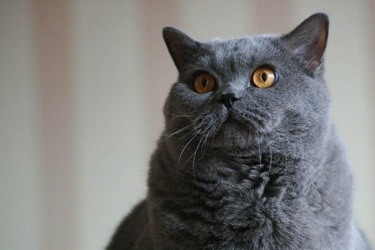 О чём горько жалеют владельцы гордых британских кошек Вдохновение,Советы,Животные,Здоровье,Коты,Кошки,Питомцы,Порода,Стрижка,Уход,Характер