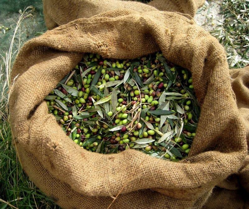 чай из листьев оливкового дерева