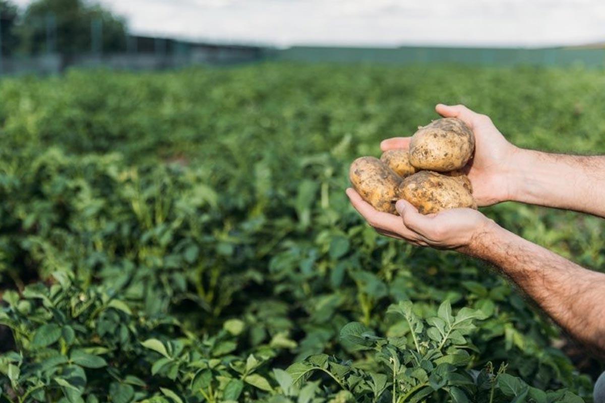 посадка картошка в мешках