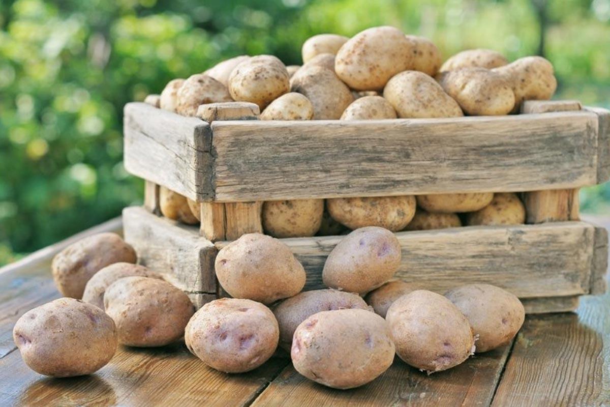 картошка посадка и уход