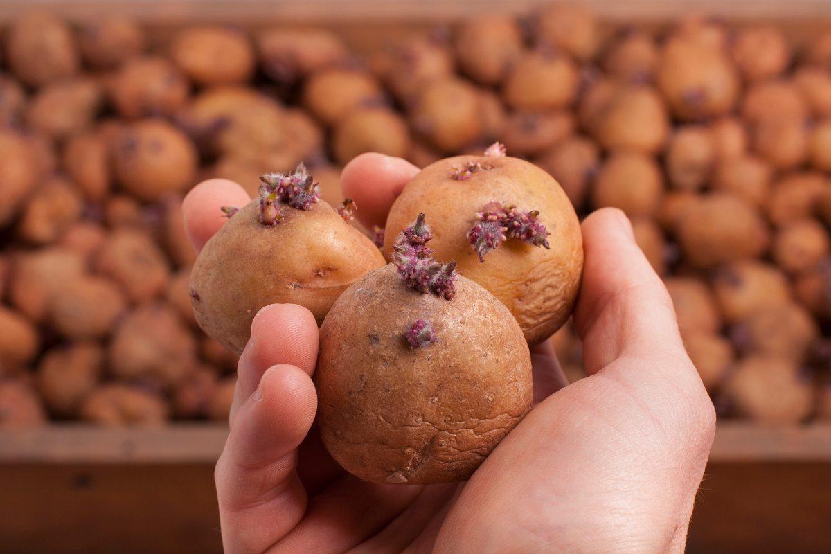 картошка посадка удобрение