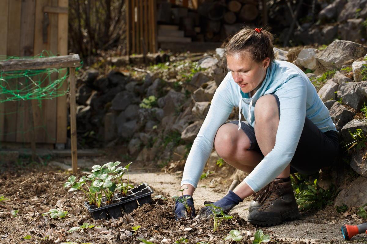 Шеф-кондитер выращивает клубнику для десертов сам, на даче, весной подливает в клубнику питательную смесь Вдохновение,Советы,Весна,Клубника,Лайфхаки,Огород,Подкормка,Удобрения,Урожай