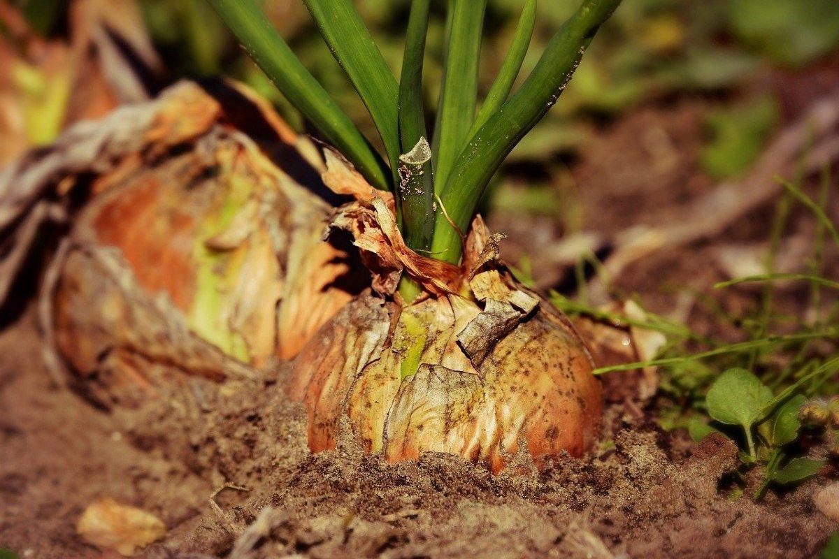 Щедро орошаю лук весной, чтобы осенью гордиться изобилием луковиц