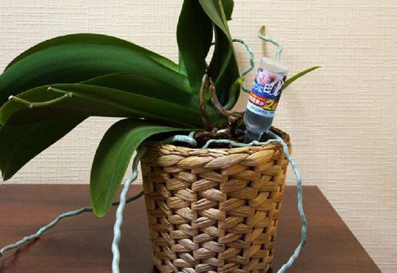 Чем подкармливать орхидею в домашних условиях чтобы