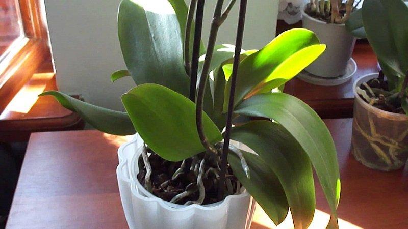 Чем можно подкормить орхидею в домашних условиях
