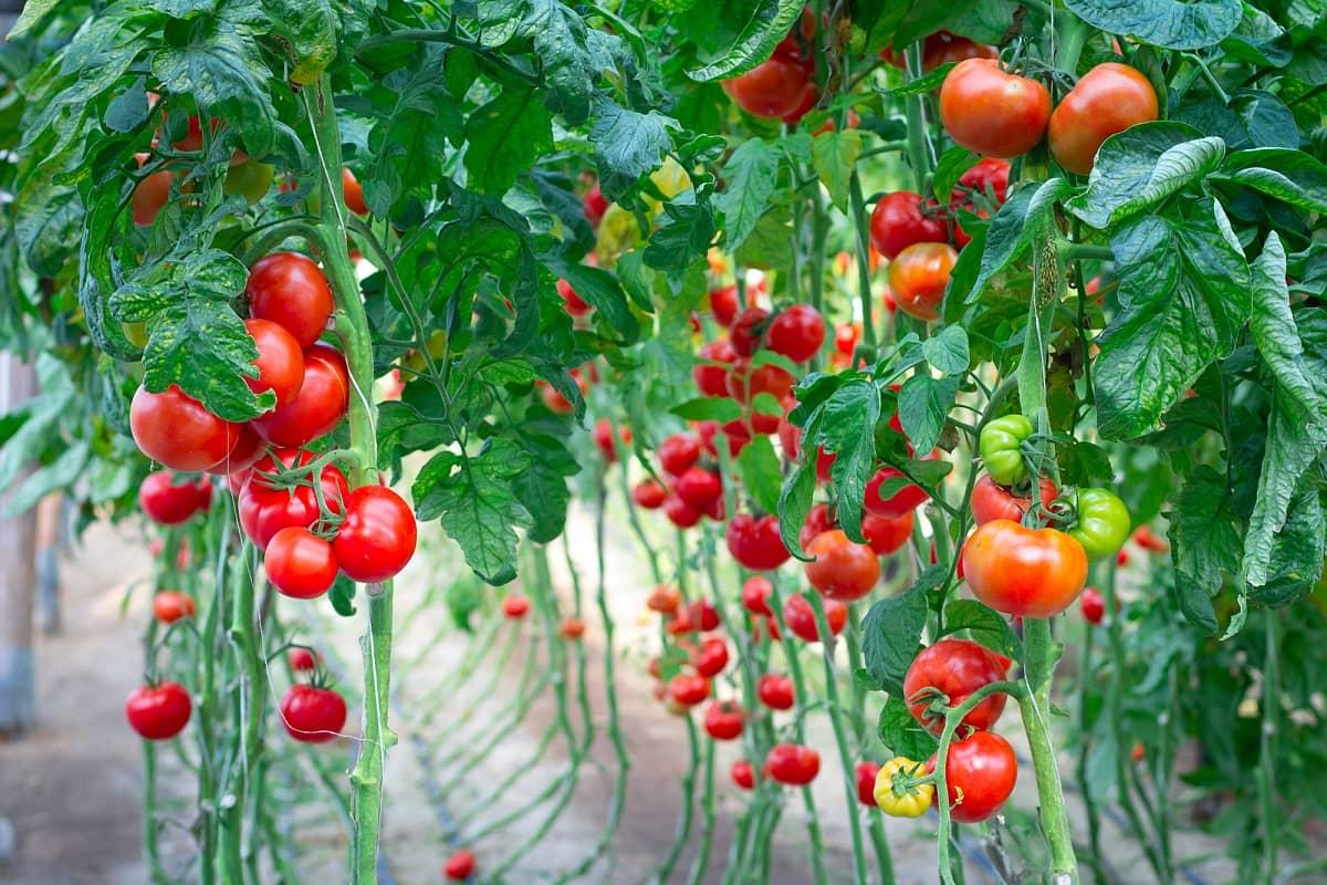 Почему не все сорта помидор нужно пасынковать