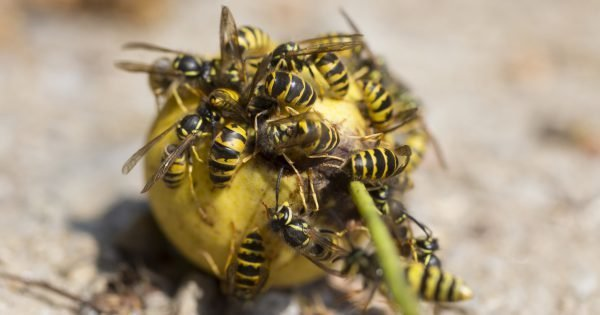 Wasps eating fruits on the ground