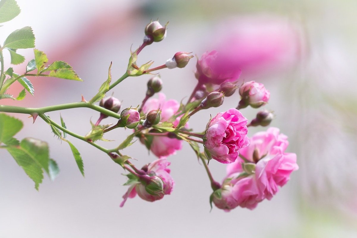 уход за розами весной подкормка