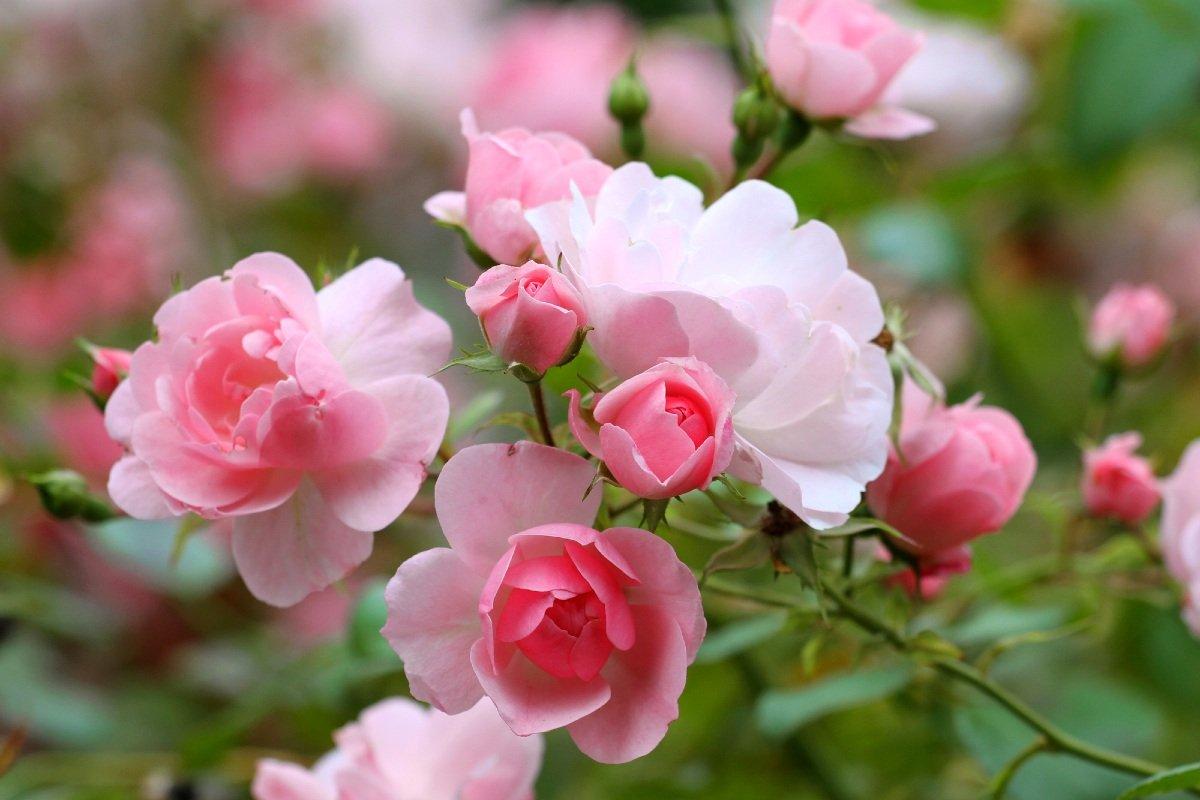 розы на даче уход