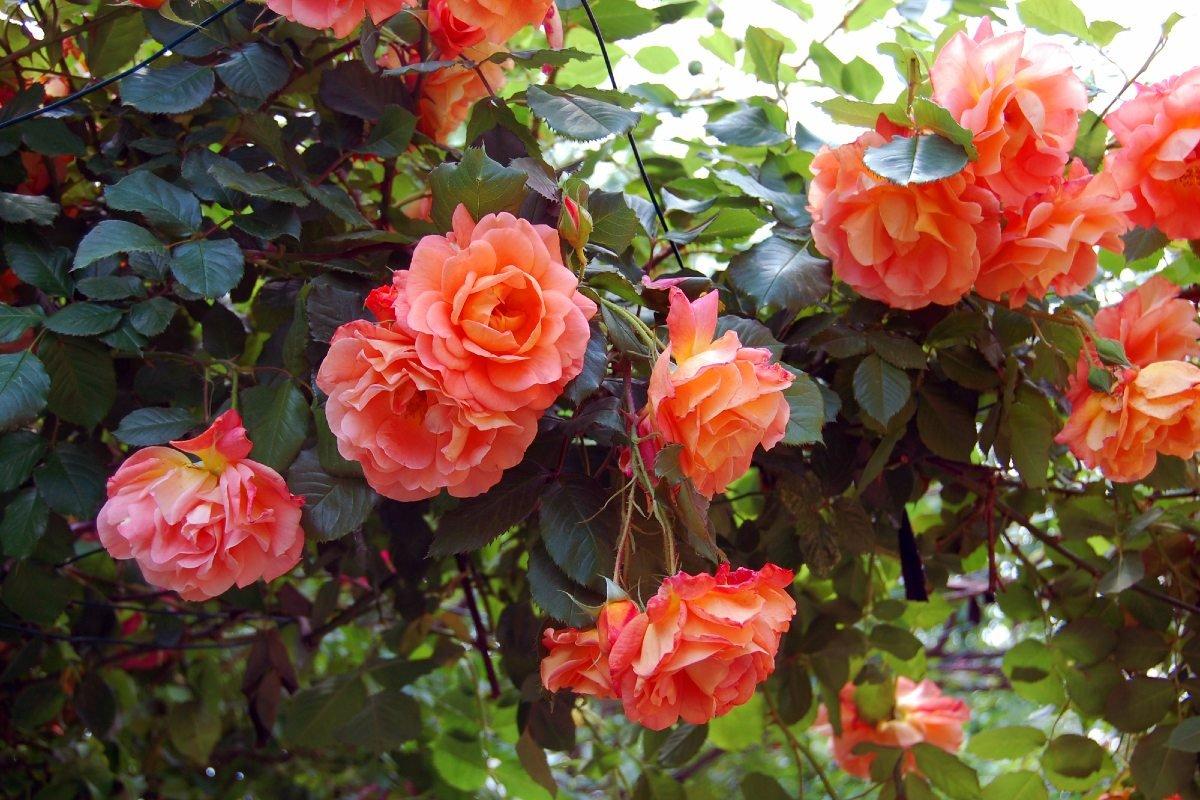 розы и уход за ними на даче