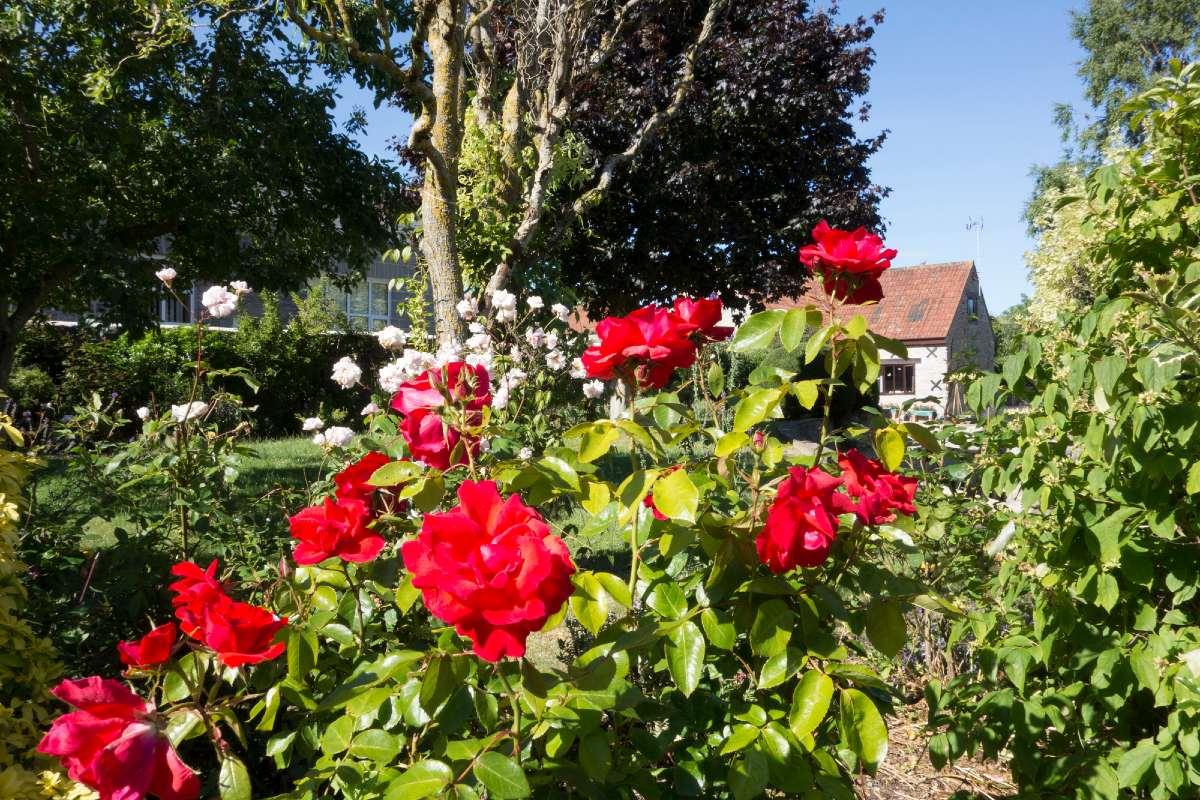 кустовые розы на даче