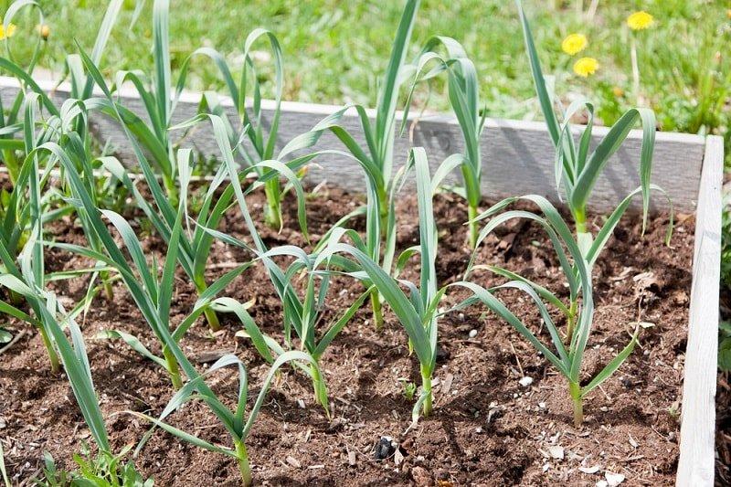 Что посадить в огороде вместо картофеля и томатов