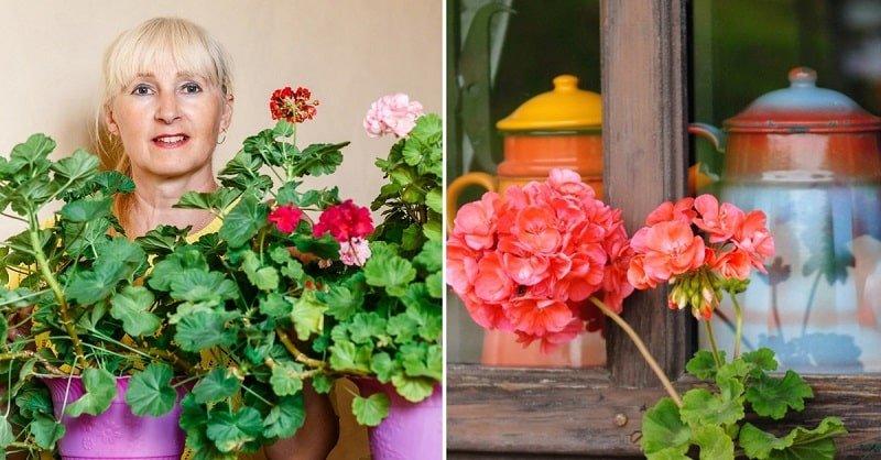 Чем подкормить герань для пышного цветения