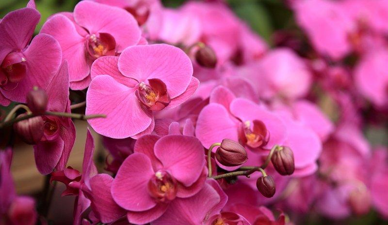 как добиться цветения орхидей в домашних условиях