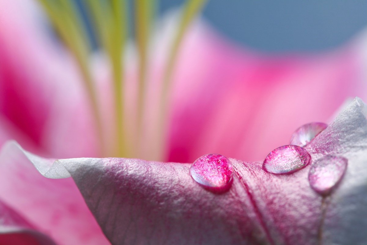 цветочная вода розы