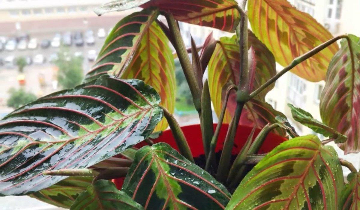 Цветок маранта: как ухаживать и чем удобрять растение