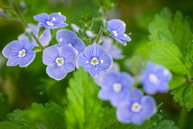 цветок вероника дубравная