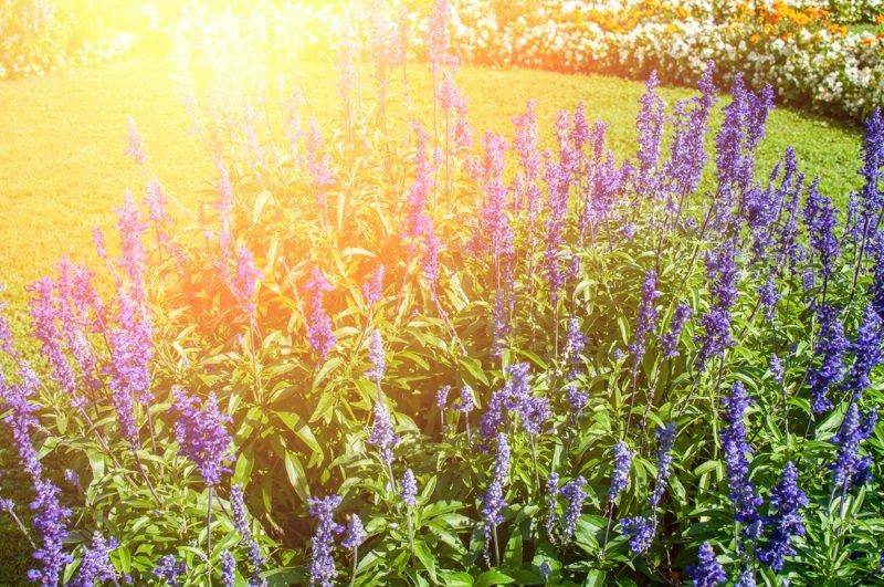 цветок вероника нитевидная