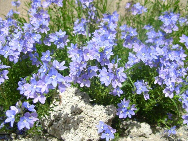 цветок вероника колосистая