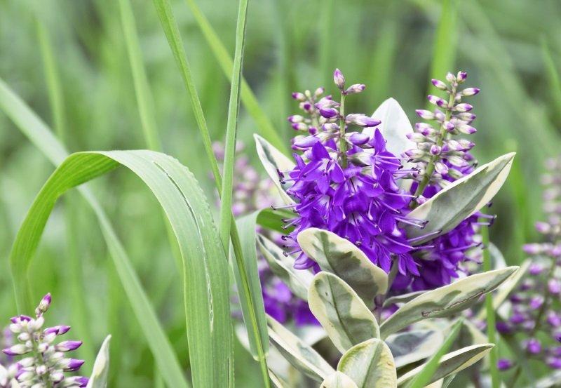 цветок вероника многолетняя