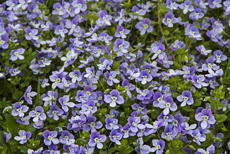 вероника цветок виды
