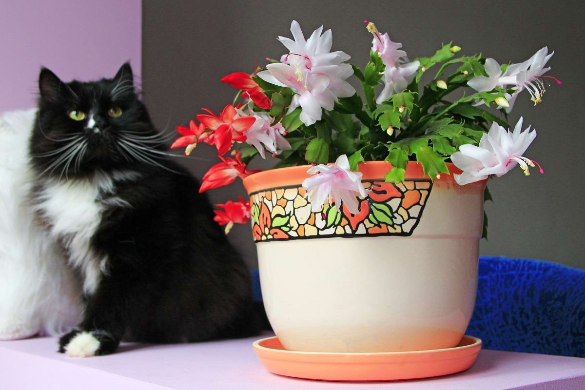 В каких домах декабрист цветет два раза в год или больше Советы,Вазоны,Дом,Подкормка,Растения,Цветы