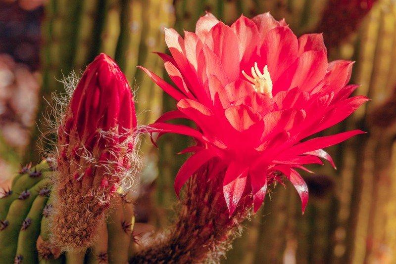 цветет кактус приметы