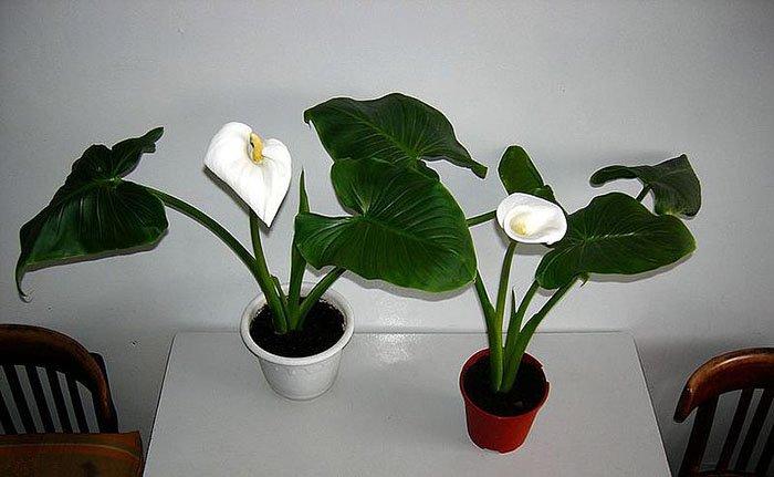 цветы по знаку зодиака козерог