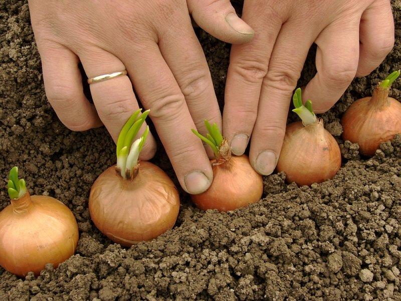 советы овощеводам огородникам