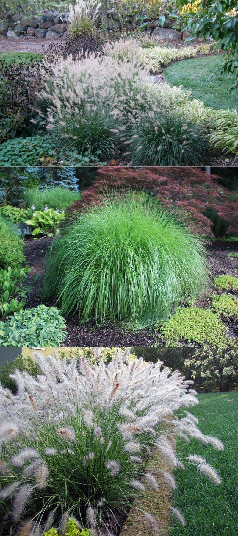декоративная трава для ландшафта