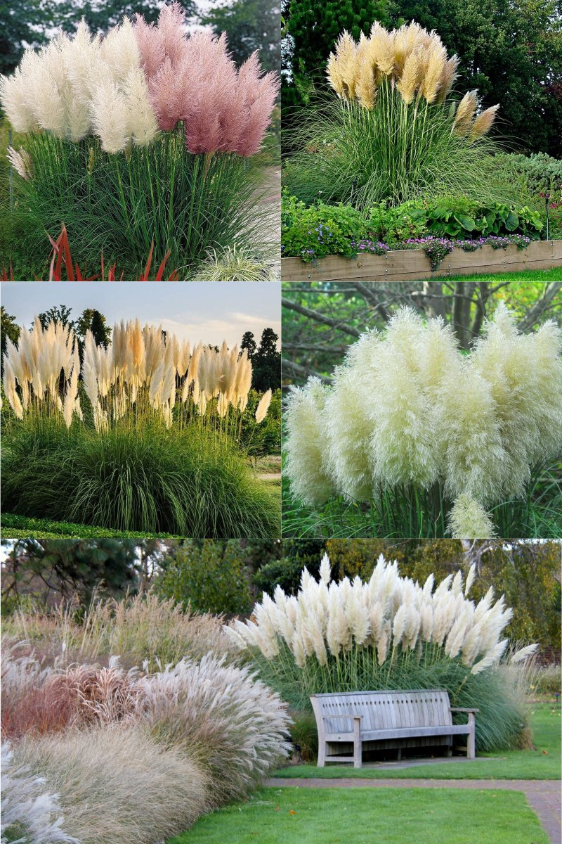 декоративная трава мискантус