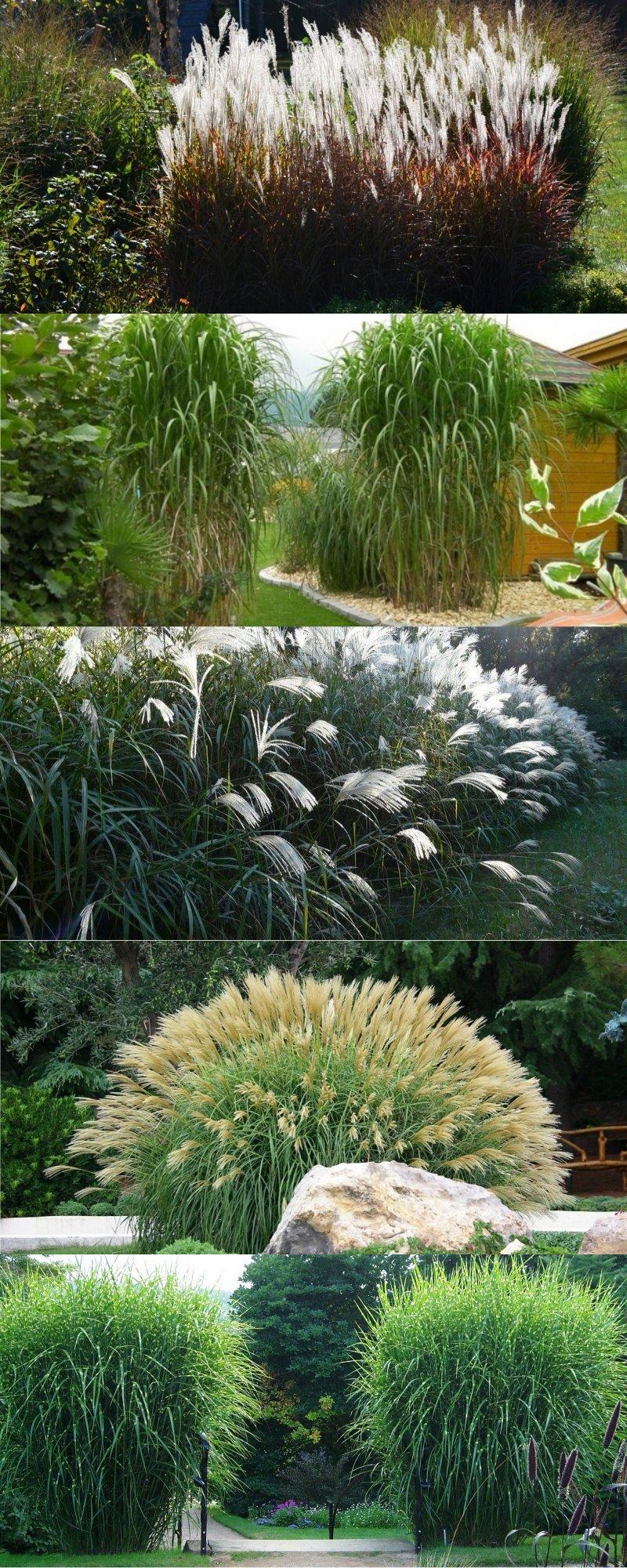 декоративная многолетняя трава