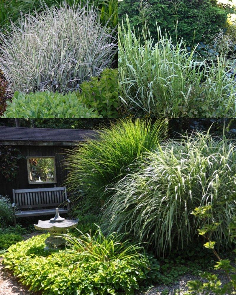 декоративная бордюрная трава