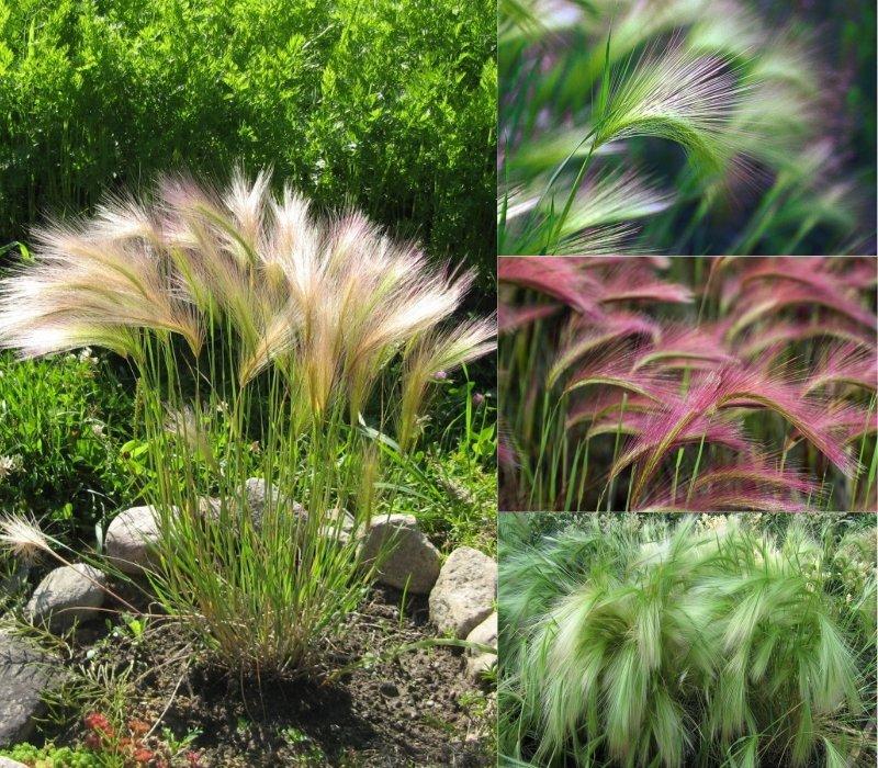 декоративная трава в саду