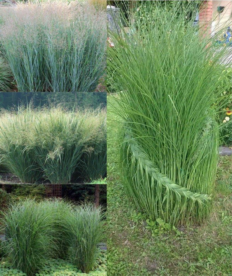 декоративная трава императа