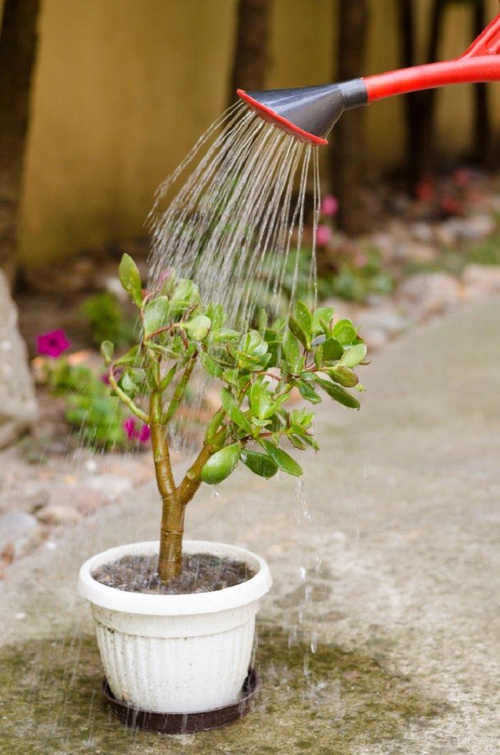 уход за денежным деревом летом