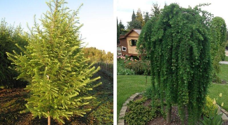 какие деревья посадить возле дома