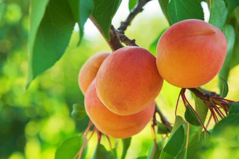 десерт из абрикосового пюре