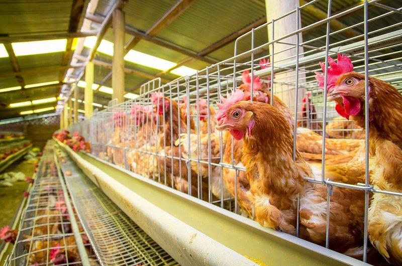 мясо курицы антибиотики