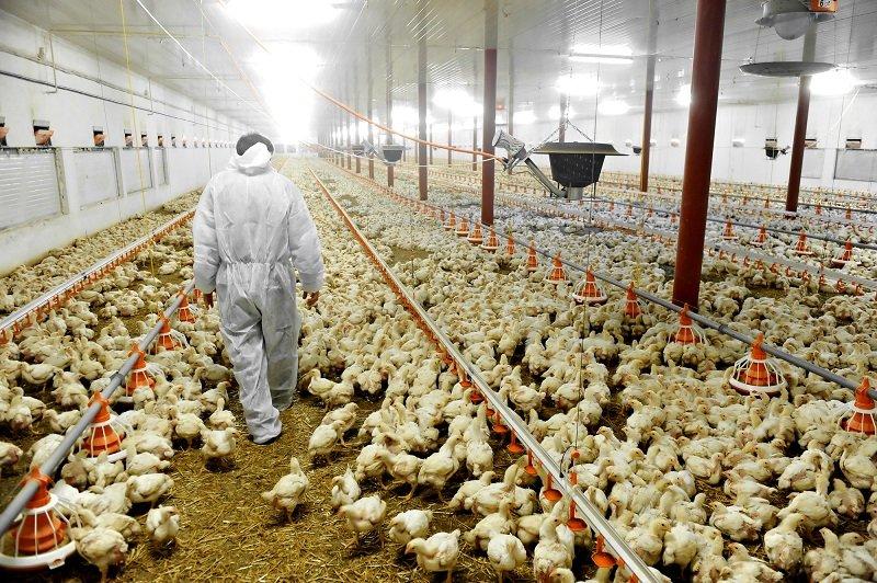 мясо курицы химикаты