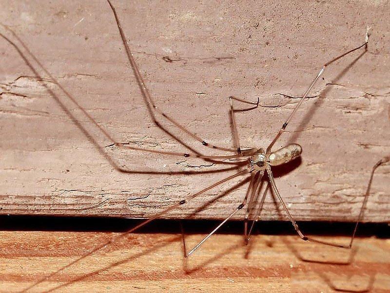 паук-сенокосец
