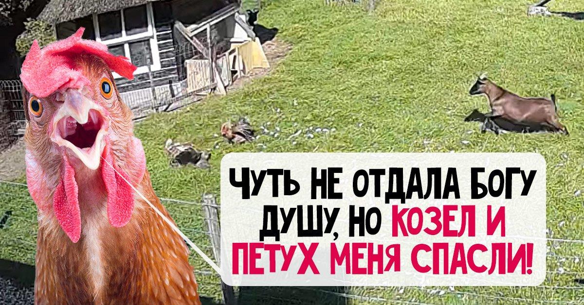 Курица чуть не отдала богу душу, но козел и петух ее спасли